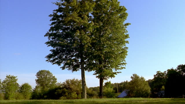 Wide shot two tall trees w/wind blowing gently through leaves in grass field w/trees in background / Vermont