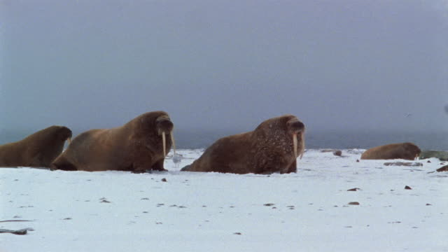 Wide shot two walruses moving across snow on snowy day / birds flying over water in background / Arctic