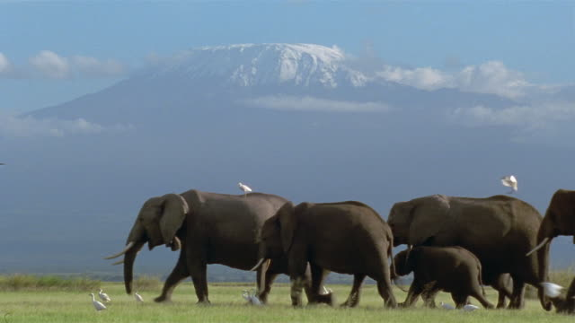 Wide shot view of Kibo on Mt. Kilimanjaro / traveling elephant herd accompanied by egrets / Kenya