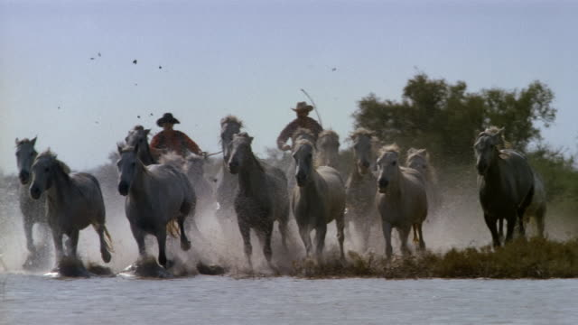 wide shot wild horses being herded through shallow water by wranglers / france - 1989 stock videos and b-roll footage