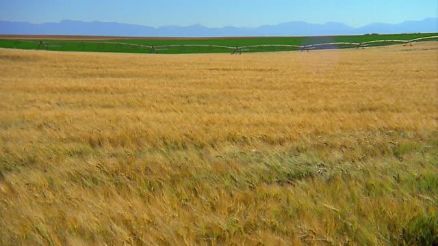wide shot wind blowing plants in wheat field - lockdown viewpoint stock videos & royalty-free footage