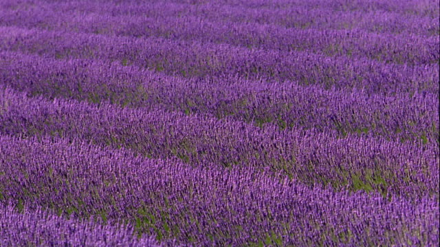 wide shot wind blowing through field of lavender flowers / france - 植物 ラベンダー点の映像素材/bロール