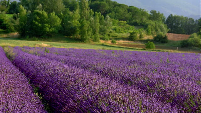 wide shot wind blowing through field of lavender flowers with trees in background / france - 植物 ラベンダー点の映像素材/bロール