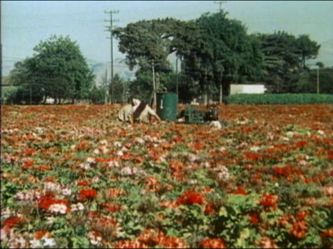 1983 wide shot zoom in migrant workers hosing crops of red and pink plants - 1983 stock videos & royalty-free footage