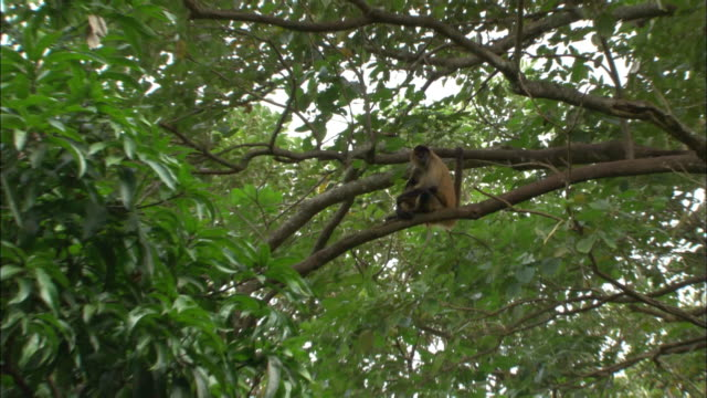 wide shot zoom in monkey sitting in tree, hunched over hugging itself / sarchi, costa rica - tree hugging stock videos & royalty-free footage