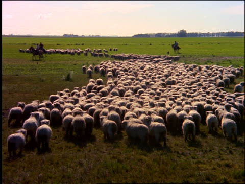 wide shot zoom in of flock of sheep running away from camera on plain / cowboys in background / southern brazil - herbivorous stock videos & royalty-free footage