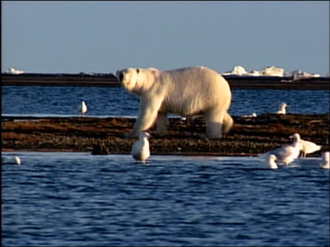 wide shot zoom in polar bear mother sniffing along beach surrounded by seagulls followed by her cubs / alaska - arctic national wildlife refuge stock videos & royalty-free footage