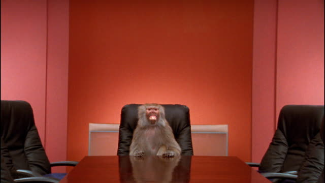 Wide shot zoom in to medium shot baboon making faces at conference table