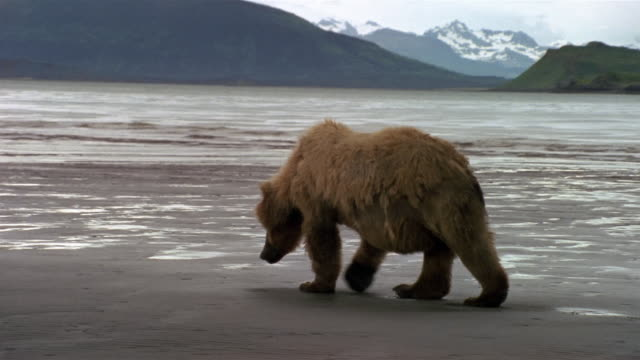 stockvideo's en b-roll-footage met wide shot zoom out brown bear walking across clam-flat on katmai coast / hallo bay / alaska - ernstig bedreigde soorten