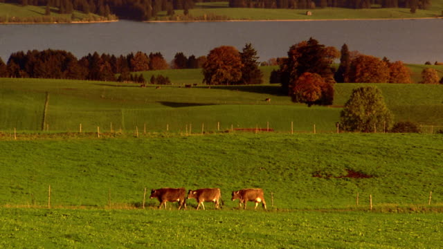 Wide shot zoom out three cows walking on path in meadow with lake and mountains in background / Germany