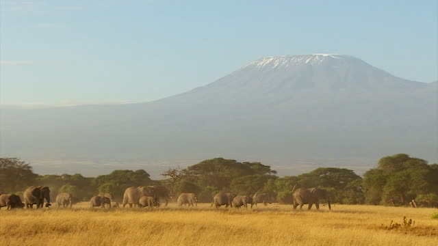 Wide shots and closeups of a herd of elephants roaming the plains in Kenya