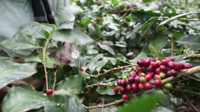 Wide shots coffee plantation in Madapura Karnataka India on Tuesday Dec 3 Various shots men and women workers selectively pick ripe arabica coffee...