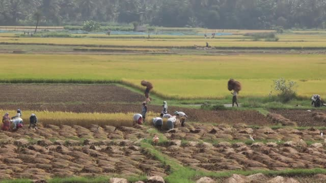 wide shots farm workers cut and collect rice during a crop harvest in paddy fields near thimmapuram tamil nadu india on thursday nov 14 a worker... - strohhut stock-videos und b-roll-filmmaterial