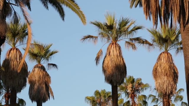 Wide shots of Palm Trees standing around the Lake in Echo Park in Los Angeles California on July 13th 2015 Shots Palm Tree stand over suburban...