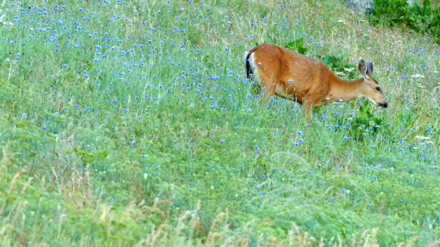 wide single north american blacktail mule deer doe grazing in wildflower meadow in the columbia river gorge near rowena crest - animal's crest stock videos and b-roll footage