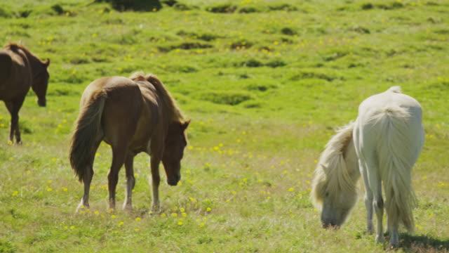 vidéos et rushes de wide slow motion panning shot of icelandic horses grazing in pasture / rangarvallasysla, iceland - animaux au travail