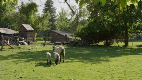 wide slow motion panning shot of sheep walking in field / springville, utah, united states - springville utah stock videos & royalty-free footage