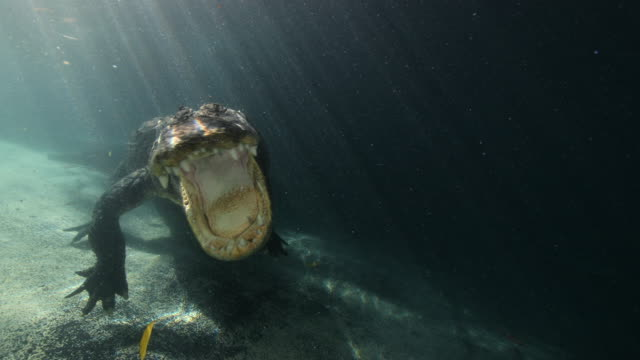 A wide slow motion shot of an American Alligator snapping his jaws underwater