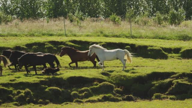 Wide slow motion tracking shot of dog herding Icelandic horses / Rangarvallasysla, Iceland