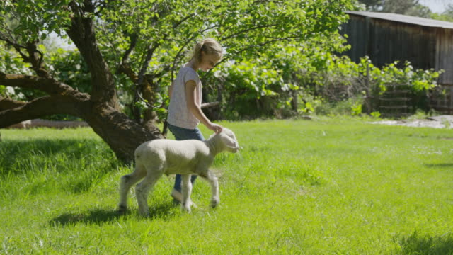 wide slow motion tracking shot of girl running in field with lamb / springville, utah, united states - springville utah stock videos & royalty-free footage
