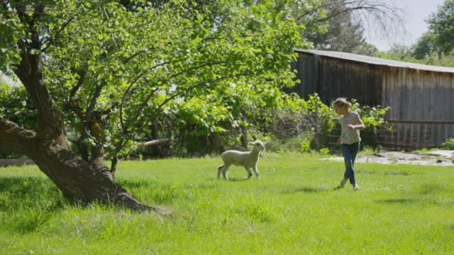 wide slow motion tracking shot of girl running in field with lamb / springville, utah, united states - springville utah stock-videos und b-roll-filmmaterial