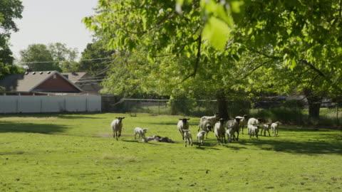 wide slow motion tracking shot of sheep running in field / springville, utah, united states - springville utah stock videos & royalty-free footage