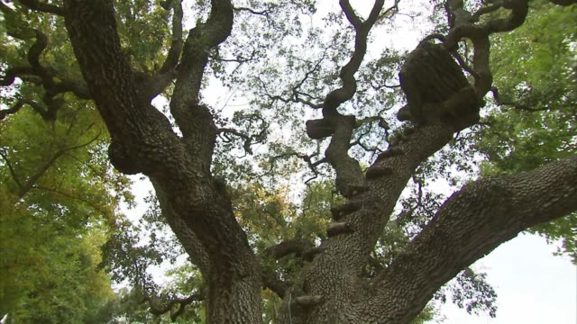 wide tilt up shot of a giant climbing tree on the neverland ranch property in los olivos, california, a low angle, wide panning shot of a giant... - ネバーランドバレーランチ点の映像素材/bロール