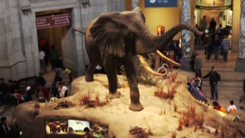 wide time lapse shot of the african elephant exhibition at the national museum of natural history in washington dc - smithsonian institution stock videos & royalty-free footage