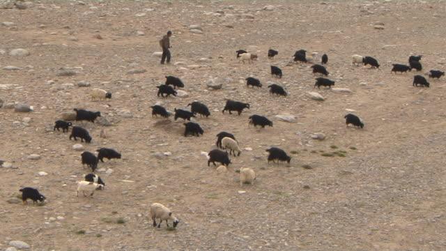 wide top shot goats grazing taklakot tibet china - hooved animal stock videos & royalty-free footage