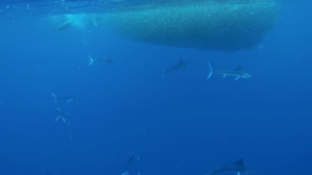 wide view of a school of striped marlin feeding on a large mackerel bait ball, pacific ocean, magdalena bay area, baja california, mexico. - bait ball stock videos & royalty-free footage