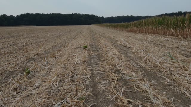 wide views of dry corn fields that have been mowed down as failure / dry wilted corn crops / dry cracked earth at the base of corn plants corn crops... - dry stock videos & royalty-free footage
