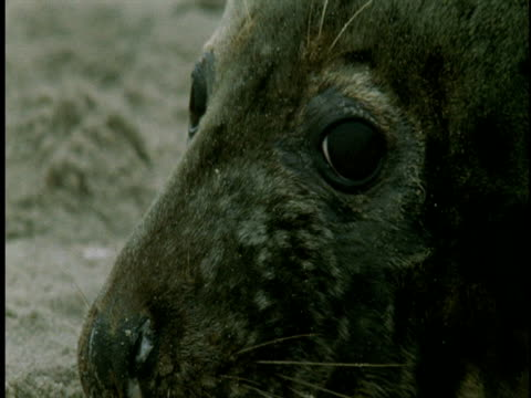 a wide-eyed adult grey seal blinks its eyes. - grey eyes stock videos & royalty-free footage