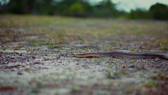 wideshot of snake slithering through grass plain - carnivora stock videos and b-roll footage