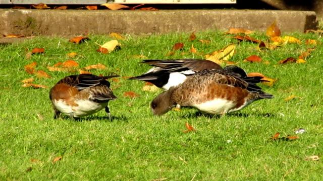 stockvideo's en b-roll-footage met wigeon ducks - vogeljacht