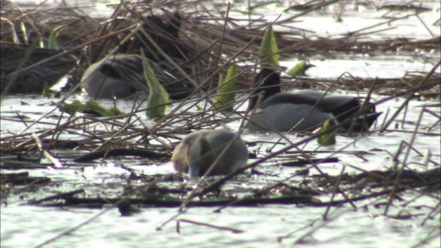 vídeos y material grabado en eventos de stock de wigeon in hokkaido - water plant