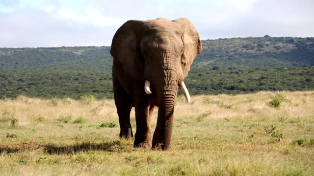 wild african bull elephant - elephant stock videos & royalty-free footage