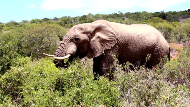vídeos de stock e filmes b-roll de wild african bull elephant - elefante