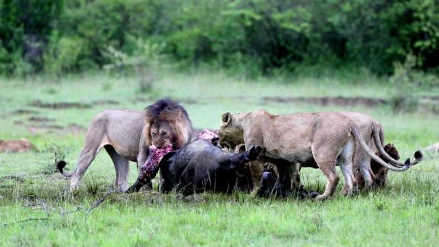 vídeos de stock, filmes e b-roll de selvagem leão africano comendo na hora, matou buffalo - búfalo africano