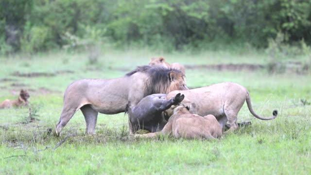 vídeos y material grabado en eventos de stock de wild african lion comer un recién asesinados de la ciudad de buffalo - matar