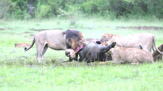 wild african lion eating a freshly killed buffalo - killing stock videos & royalty-free footage