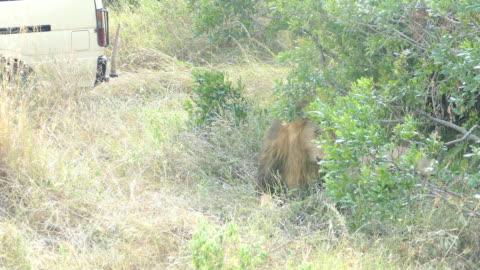 vilda afrikanska lejonet vilar - kamouflage bildbanksvideor och videomaterial från bakom kulisserna
