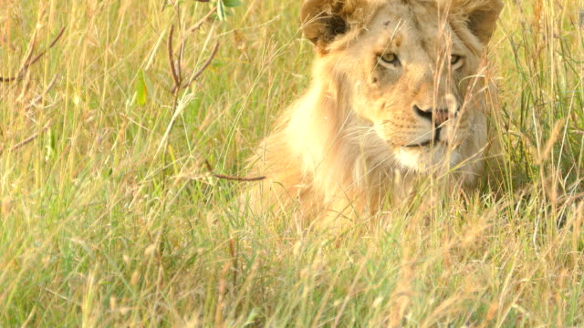 wild african lion - disguise stock videos & royalty-free footage