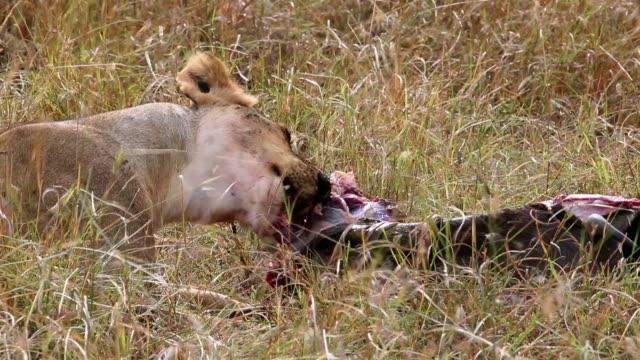 wilde afrikanische löwin essen eine frisch getötete tier - antilope stock-videos und b-roll-filmmaterial