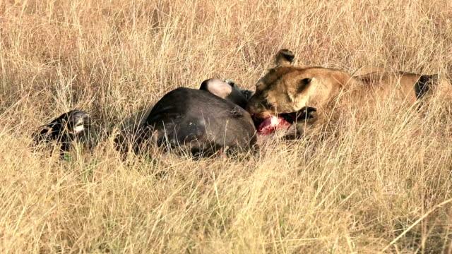 vidéos et rushes de lionne africaine sauvage manger un des morts gnou - tuer