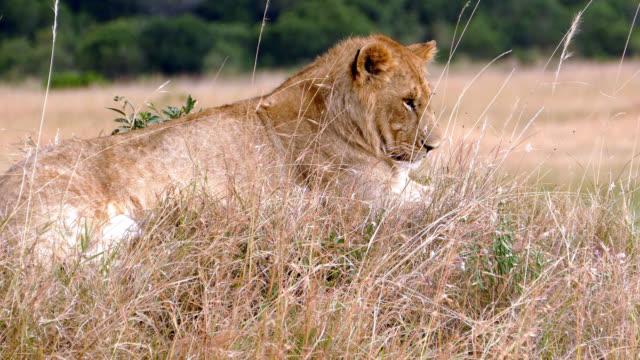 vídeos y material grabado en eventos de stock de africano salvaje leona descansar después de preying - matar