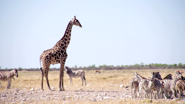 ls wild animals in african savannah - giraffe stock videos and b-roll footage