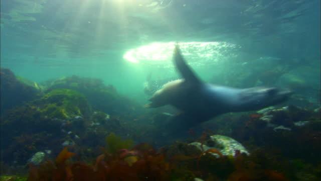 wild antarctic fur seals swimming underwater - アザラシ点の映像素材/bロール
