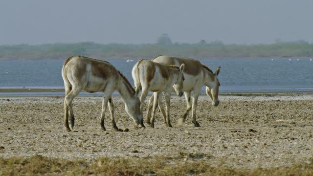 wild ass and foals amble away - midshot - 子馬点の映像素材/bロール