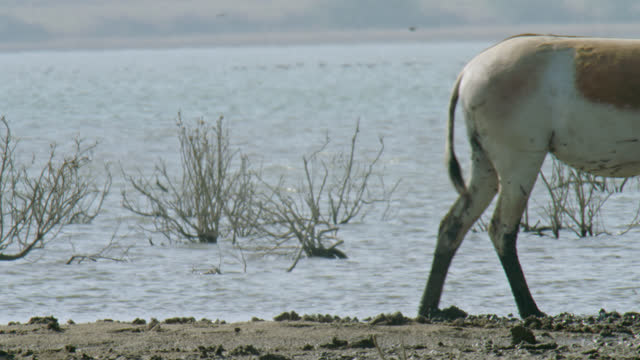 wild ass herd amble away - medium close up - アジア野ロバ点の映像素材/bロール