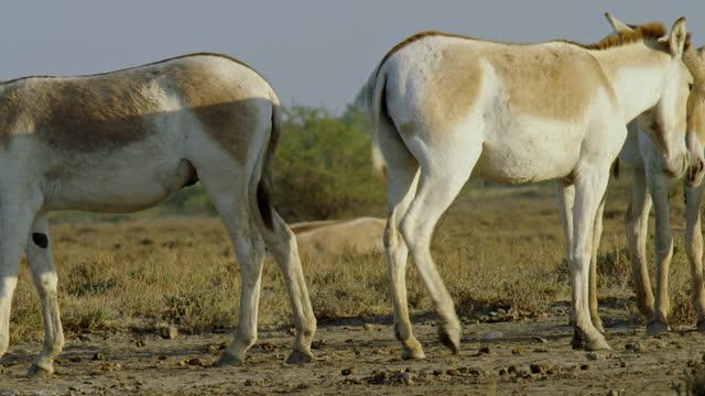 vidéos et rushes de wild ass herd standing - medium close up - medium group of animals